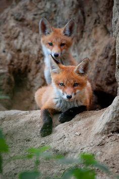 Red Fox Cubs by Alex Drangovsky on 35Photo