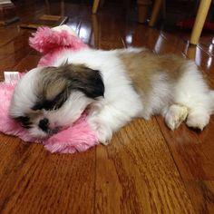 Sleepy Shih Tzu: