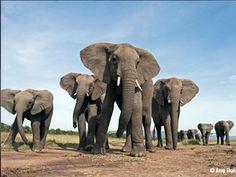 End Elephant Slaughter - Save Their Ivory Tusks | World Wildlife Fund