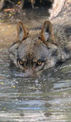 submarine wolf (also it's kinda rare to get a pic of a wolf swimming so this is kinda awesome