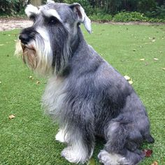 Beautiful <3    #Schnauzer
