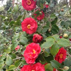 Camellias at The Huntington Library