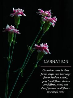 Design*Sponge | Flower Glossary | Carnation