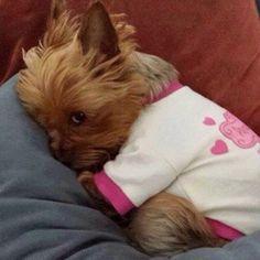32 Best Yorkie Clothes Images On Pinterest Dog Clothing Dog