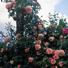 Climbing with pretty coral-salmon-pink color and repeat blooming.