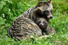Racoon dogs  (Nyctereutes procyonoides,) also known as the magnut or tanuki, is a canid indigenous to East Asia. It is the only extant species in the genus Nyctereutes. It is considered a basal canid species, resembling ancestral forms of the family. Among the Canidae, the raccoon dog shares the habit of regularly climbing trees only with the North American gray fox, another basal species. The raccoon dog is named for its resemblance to the raccoon to which it is not closely related.