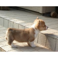 Awwwww corgi puppies have trouble with stairs!