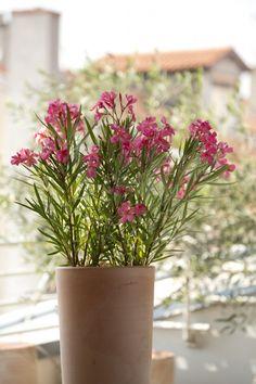 Laurier rose un parfum de voyage Laurier Sauce, Rose, Deco, Portugal, Inspiration, Gardens, Garden Deco, Plant Cuttings, Plants