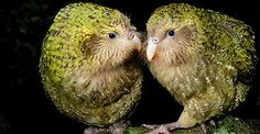 It's estimated there are fewer than 130 kakapos left in the wild. | 23 Things You Didn't Know About The Flightless Parrot Facing Extinction