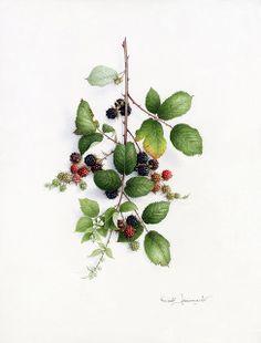By Vincent Jeannerot :) Great Artist! Botanical Drawings, Botanical Prints, Blackberry Tattoo, Watercolor Flowers, Watercolor Art, Birch Tree Mural, Flower Crown Tutorial, Fruit Art, Floral Illustrations