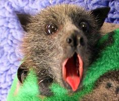 Flying Fox baby bat  in rehab Yawning or looking for dinner or the dummy.