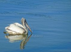 Pelican searching for food.
