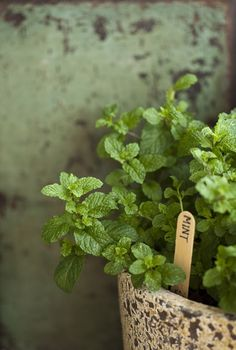 Mint is easy to grow..but it speads like the dickens..A container is a great way to grow it..and your garden will smell wonderful and you will still have plenty use.