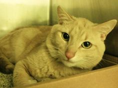 """NYACC **URGENT** EXTREMELY SWEET HANDSOME KITTY ALERT*"""" TO BE DESTROYED 7/14/14 Manhattan Center  My name is CINNAMON. My Animal ID # is A1005408. I am a male tan and white domestic sh mix. The shelter thinks I am about 1 YEAR. https://m.facebook.com/photo.php?fbid=830269906984843&id=155925874419253&set=a.576546742357162.1073741827.155925874419253&source=43"""
