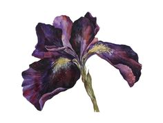 Iris, 2014 Giclée print (from a painting) by Veda West   From a limited edition of 100 Size: 12.6 × 16.54 inches / 11.81 × 15.75 in (actual image size) Signed and numbered on the front $81.96