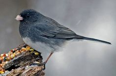 """Dark-eyed Juncos (Junco hyemalis) are birds of the ground. Male """"Slate-colored"""" Junco pictured. During winter you'll find them in open woodlands, fields, parks, roadsides, and backyards. (!/18/14 Greenbelt Park's woodland path)"""