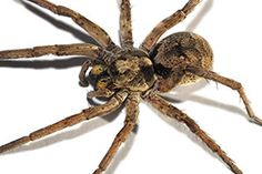 The only naturally occurring poisonous spider in Maryland is the Black Widow spider. Learn how to identify several other spider species, their habitats, behaviors, and what you can do to deter them. Common Spiders, Types Of Spiders, Get Rid Of Spiders, Killing Spiders, Hobo Spider, Spider Identification, Scary Bugs, Creepy, Pet Wolf