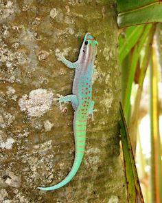 Phelsuma ornata - DutchGeckos Endangered Reptiles, Reptiles And Amphibians, Gecko Terrarium, Chameleon Lizard, Animal 2, Geckos, Toad, Mauritius Island, Animal Pictures