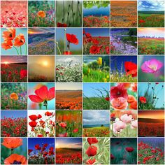 ♥ Poppies ♥ by LHDumes, via Flickr
