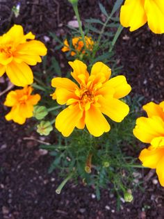 pure gold tagetes