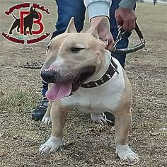 Bull terrier colombia