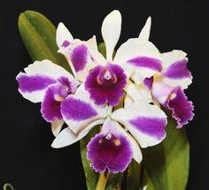 Orquídea LC Remo Prada Crown - Jardim Exótico - O maior portal de mudas e sementes do Brasil.