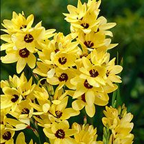 Ixia /'HOGARTH/' Premium Quality Bulbs  Unusual Spring Cream Flowered Corn Lily