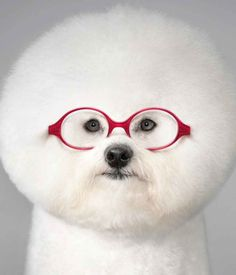 The 15 Most Fluffy And Cute Animals In The World | Bichon Frisée (cuter without the glasses IMO) - my favorite dog breed,  both for it's adorable (& fluffy) appearance, & for it's adorable personality traits.