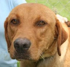 Rusty is an adoptable Labrador Retriever Dog in Chipley, FL. Rusty is a 2 to 3 year old male lab cross, about 50 pounds. He is good on a leash, good with other dogs, very friendly, well behaved and la...