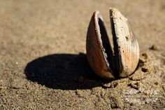 Ocean Photograph, Beach Decor, Photo of Shells, Fine Art Photography, Still Life Print, Clam Picture, Shore, Coast, Seascape, Seashore, Sand