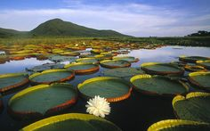 Vitoria Regia Water Lily at Pantanal Matogrossense National Park, Brazil