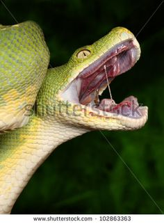 snake mouth open - Google Search