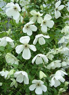 Clematis ' Maria Cornelia'. Small, bowl-shaped, nodding, white flowers with purple anthers on pale green filaments. This new viticella hybrid blooms freely. Markedly different flowers suggest dogwood blossoms.    Size: 8'-10' tall. Bloom time: Mid summer to late fall. Plant zones: 4-9. PRUNE GROUP 3