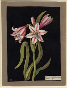 Crinum Zeylanicum (Hexandria Monogynia), formerly in an album (Vol.III, 47); Asphodil Lilly. 1778 Collage of coloured papers, with bodycolour and watercolour, on black ink background