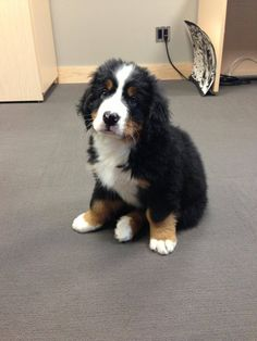 My coworker brought in her new puppy... I think I'm gonna cry. - Imgur