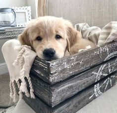 Adorable golden retriever puppy -Becky Palmer- beckymegp - My Doggy Is Delightful Cute Baby Animals, Animals And Pets, Funny Animals, Animals Photos, Funny Dogs, Perros Golden Retriever, Cute Puppies Golden Retriever, Labrador Puppies, Baby Golden Retrievers
