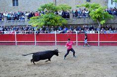 Santacara: Vacas Merino - Fiestas de Santa Eufemia Año 2016 Goats, Animals, Cows, September, Fiestas, Animales, Animaux, Animal, Animais