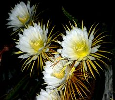 """This gorgeous 9"""" wide flower blooms only at night and only for one night!  By the time the sun comes up it closed up it's petals.  It's subtle vanilla like fragrance attracts bats and sphinx moths to it's fragrance.  These only bloom in the summer from June till July, usually on a Full Moon.  I captured it's essence last summer on a Full Moon night.  This jungle flower grows wild in my Florida island garden.  Night Blooming Cereus Cactus Flower Essence is us..."""