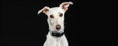 Check our Rocker Metallic Queen Dog Collar at www.pjays.de