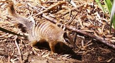 NUMBAT - a small, slow-moving oddity of Australia. Gentle and squirrel-like,they can be up to 10 inches (25 cm) long. Numbats eat only ants and termites they catch by using their very long, sticky tongues and can eat as many as 10,000 ants and termites each day.  Prefer open woodland habitat dominated by eucalyptus trees. They are nimble and can leap and even climb trees.