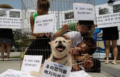 Members of Coexistence for Animal Rights confine themselves in a cage as a protest against eating dog meat on August 7, 2012 in Seoul, South Korea. Dog meat is a traditional dish in Korea dating back to the Samkuk period (period of the three kingdoms BC 57 - AD 668), and July 15 is the day on which some South Koreans eat dog meat in the belief it will help them endure the heat of the summer months. (Photo by Chung Sung-Jun/Getty Images)