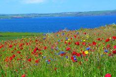 Wild flowers near Courtmacsherry, Co Cork