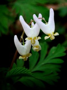 Dutchman Breeches spring wildflower, Maine spring