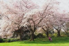 Sisters 8x12 cherry blossom photograph by SandyWigginsImages, $30.00