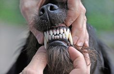 His teeth might look fierce, but he's just a cute and cuddly pooch! Click through to find out what to do if your dog's gums are swollen!