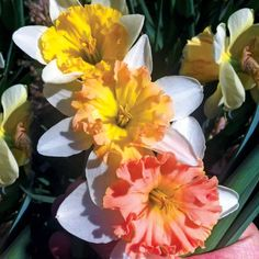 Daffodil narcissus 'Sunset'