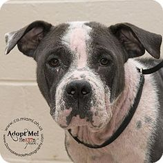 Pit Bull Terrier Mix Dog for adoption in Troy, Ohio - Madison . Shelter: Miami County Animal ShelterPet ID #: 300dPhone: (937) 332-6919Fax: (937) 332-7060E-mail: mcas6919@yahoo.com Website: http://www.co.miami.oh.us Address: 1110 North County Road 25A Troy, OH 45373