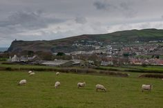 Sheeps grazing in Isle of Man