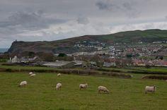 Sheeps grazing in Isle of Man