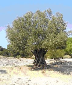 34 Ideas olive tree leaves tattoo for 2019 Unique Trees, Small Trees, Fruit Trees, Trees To Plant, Tree Planting, Nature Sauvage, Tree Images, Mediterranean Garden, Grow Organic